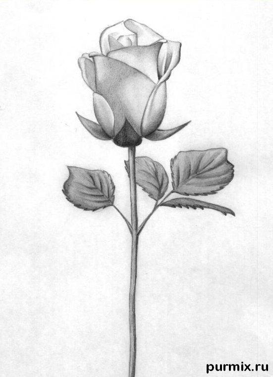 Skizze Der Rosenblüte Wie Zeichnet Man Eine Schöne Rose In